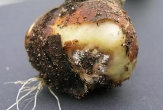 Voorkom verspreiding van Fusarium tijdens verwerken van de tulpenbollen